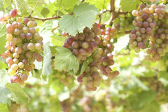 Grape vines in a vineyard Royalty Free Stock Images