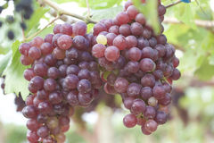 Grape vines in a vineyard Stock Images