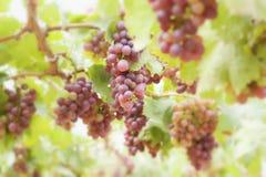 Grape vines in a vineyard Stock Image