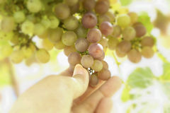 Grape vines in a vineyard Royalty Free Stock Image