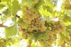 Grape vines in a vineyard Stock Photo