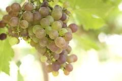 Grape vines in a vineyard Stock Photography
