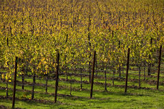 Grape vines in vineyard Stock Images