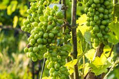Grape vines in a vineyard area in Switzerland stock images