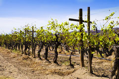 Grape Vines, Vineyard, Baja, Mexico stock images