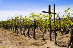 Grape Vines, Vineyard, Baja, Mexico Stock Images