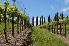 Grape Vines in a Vineyard Royalty Free Stock Photos