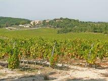 Grape vines in vineyard Stock Photography
