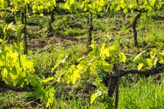 Grape vines in a vineyard near Montalcino, Val d`Orcia, Tuscany, Stock Photography