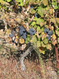 Grape vines in vineyard Stock Photos