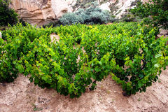 Grape vines Royalty Free Stock Image