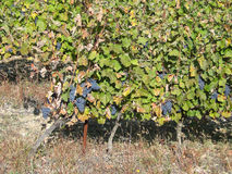 Grape vines in vineyard Royalty Free Stock Photos