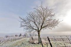 Grape vines and walnut tree Royalty Free Stock Photos