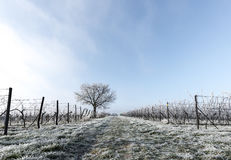 Grape vines and walnut tree. In frost Royalty Free Stock Photo