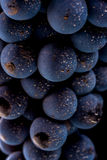 Grape vines  , water drops ,macro shot , black backgroun. D , ideal grapes bunch Royalty Free Stock Images