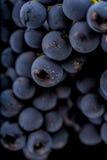Grape vines  , water drops ,macro shot , black backgroun Stock Image