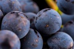 Grape vines  , water drops ,macro shot , black backgroun Stock Photos