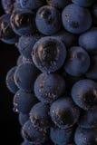 Grape vines  , water drops ,macro shot , black backgroun Stock Images