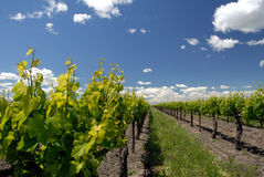 Grape Vines and White Clouds Royalty Free Stock Photography