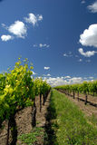 Grape Vines and White Clouds Stock Photo