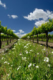 Grape Vines and White Flowers Royalty Free Stock Photos