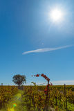 Grape vines in wide French rural landscape Stock Photography
