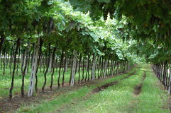 Grape Vines at Winery Stock Photos