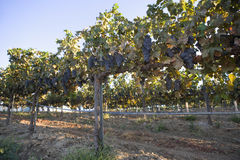 Grape Vines On A Wire Fence Post stock image