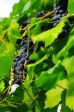 Grape in vineyard Royalty Free Stock Image