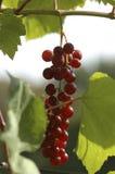 Grape in the Vineyard. Dark grapes for wine in vineyard Stock Image