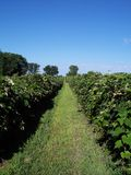 Grape Vineyard. Rows of grapes display a path to off into the distance with a clear blue sky above the ordered lines of grapes Stock Photos
