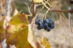 Grape in a vineyard at autumn Royalty Free Stock Photos