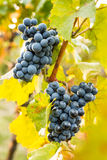 Grape in the vineyard. Stock Photography