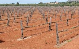 Grape Vineyard field in spring Stock Photo