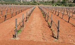 Grape Vineyard field in spring Royalty Free Stock Photo