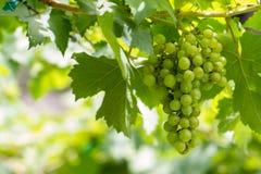 Grape in vineyard Royalty Free Stock Photos