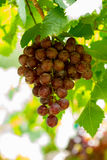 Grape in vineyard Royalty Free Stock Photo