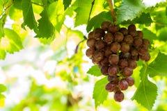 Grape in vineyard Stock Photos