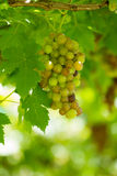 Grape in vineyard Royalty Free Stock Images