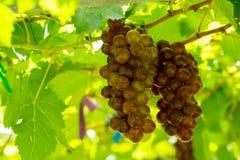 Grape in vineyard Royalty Free Stock Photo