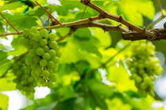 Grape in vineyard Stock Photography