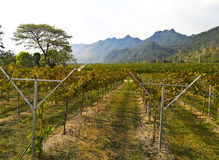 Grape vineyard landscape Royalty Free Stock Images
