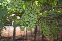 Grape vineyard Royalty Free Stock Photos