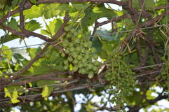 Grape vineyard Stock Photo