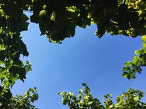 Grape Vineyard look up view royalty free stock photography