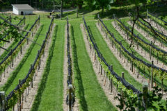 Grape Vineyard 4 Stock Image
