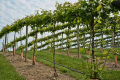 Grape Vineyard 3 Royalty Free Stock Photos