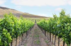 Grape Vineyard Royalty Free Stock Image