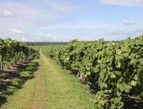 Grape Vineyard of North East America Stock Photography