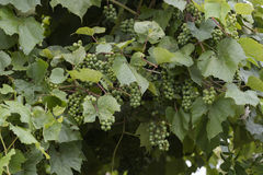 Grape and vineyard after rain Royalty Free Stock Photo